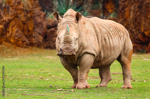 Fotobehang Neushoorn White rhinoceros or White Rhino, Ceratotherium simum, with big horn in Cabarceno Natural Park