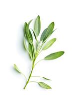 Salvia Officinalis. Sage Branch.