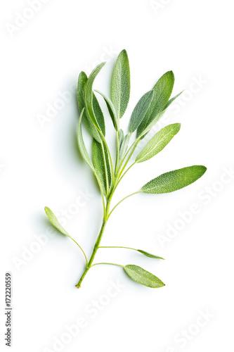Fototapeta Salvia officinalis. Sage branch. obraz