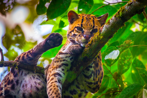 Photo Oncilla. Wild cat. Ecuador. Wood cat.
