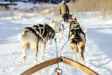 Sled Dogs Pulling A Sled