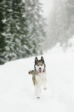 Husky Running In Snow