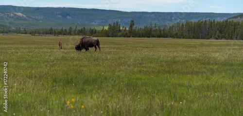 Aluminium Prints Bison American Bison grazing in Yellowstone