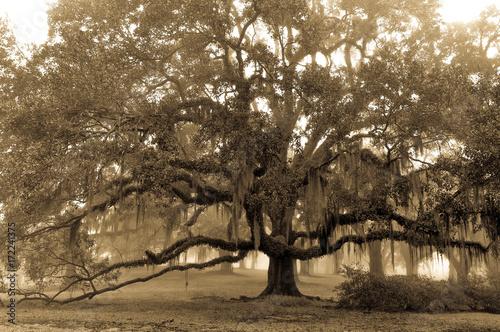Ancient Live Oak in Sepia Canvas Print