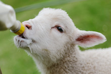 Lamb Drinking From Bottle