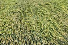 Wheat Field In Belarus