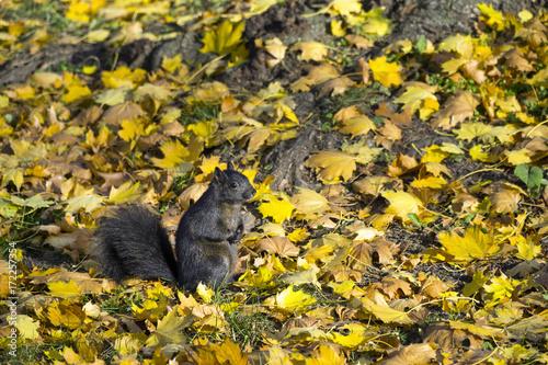 Zdjęcie XXL Śliczna czarna wiewiórka przy dzikim naturalnym parkiem na jesień dniu