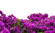 bougainvillea flower , Isolated on white background