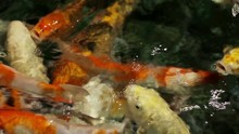 Group Of Orange Carps Trying To Eat The Small Ball Of Ration Floating On The Water Of A Lake.