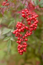 Nandina Berries Close Up