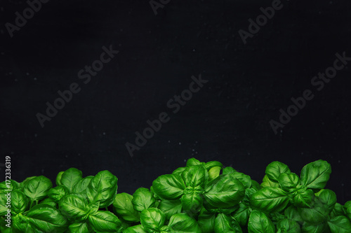 Obraz Fresh basil on a dark background. Green basil. Food background. A lot of basil - fototapety do salonu