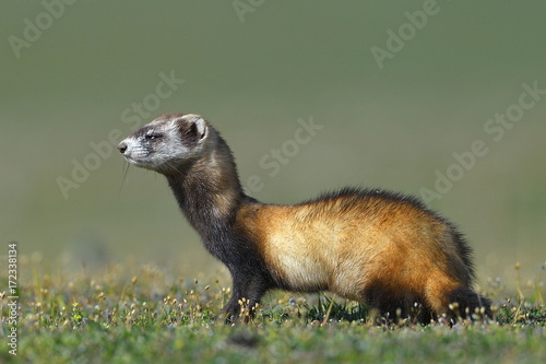 Fotografia, Obraz The steppe polecat or masked polecat in natural habitat (Mustela eversmanii)
