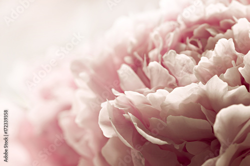 Foto Macro background of peony flower.