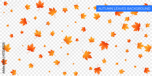 Autumn falling leaves on transparent background. Vector autumnal foliage fall of maple leaves. Autumn background design - 172341558