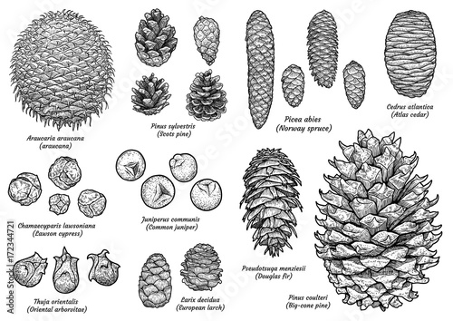 Fotografie, Obraz  Pine and fir cone collection, drawing, engraving, ink, line art, vector