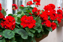 Red Garden Geranium Flowers , ...