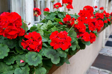 Red Garden Geranium Flowers , Close Up Shot / Geranium Flowers