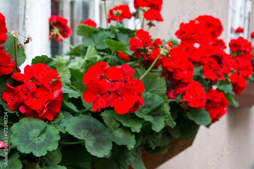 Red garden geranium flowers , close up shot / geranium flowers Canvas Print