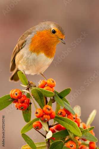 Pretty bird with a nice red plumage Canvas Print
