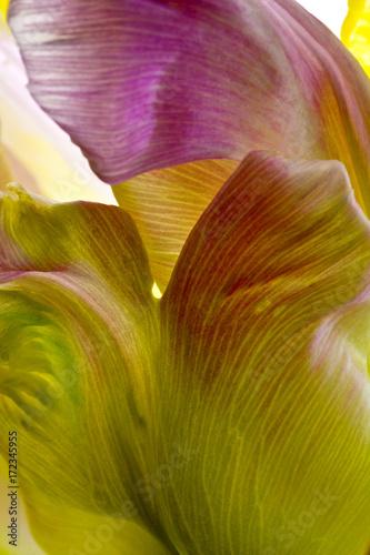 Poster Pissenlit tulip
