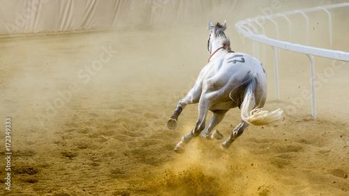 Fototapeta Cavallo scosso corre al palio di Asti obraz