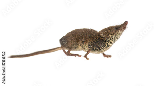 Obraz na plátně  Eurasian Pygmy shrew on white background