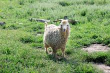 Angora Goat In Grassy Field Wi...
