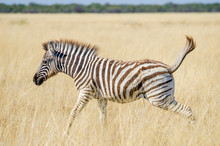 Young Zebra Jumping Happily Th...