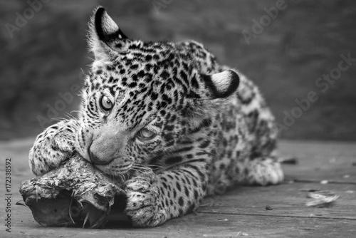maly-jaguar