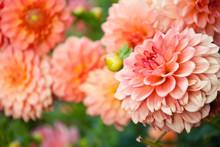 Beautiful Peach Chrysanthemum