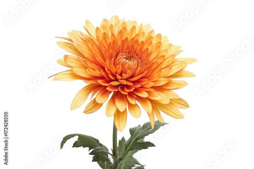 Canvas Print Chrysanthemum
