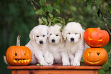 Three Golden Retriever Puppies With Carved Pumpkins