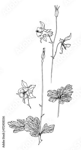 Photo Set of hand drawn aquilegia