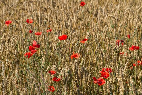 Plakat Czerwone kwiaty maku.