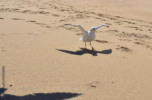 Fotografie, Obraz  Mewa, albatros, plaża