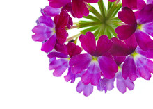 Vibrant Verbena Flowers On Whi...