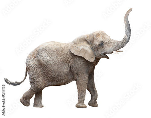 Poster Olifant African elephant - Loxodonta africana female. Animals isolated on white background.