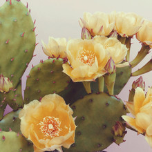 Blooming Prickly Pear Cactus A...
