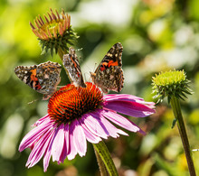 Three Painted Lady Butterflies...