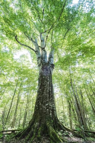 日本一のブナの木(縦)