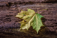 Yellow Maple Leaf Laying On Fa...