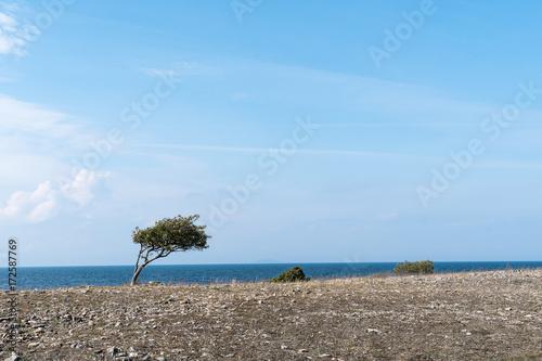 Valokuva  Windswept tree and bushes by a coastline