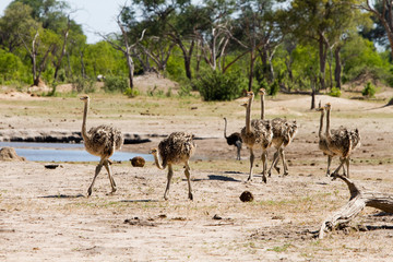 Flock of young ostriches walking across the plains in Hwange, Zimbabwe