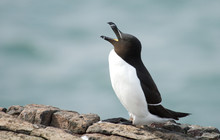 Guillemot Bird Squawking While...