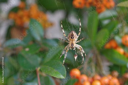 Plakat krzyż pająka