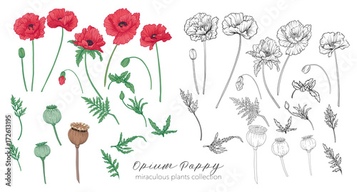 Opium poppy plant set. Colored and outline set stock vector illu - 172613195