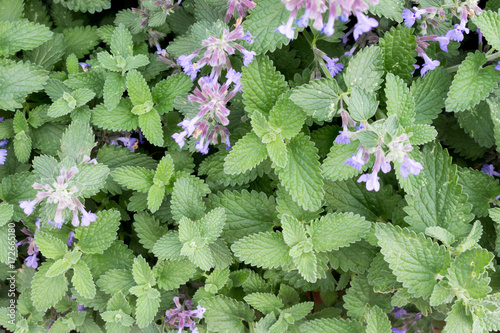 Catnip or catmint green herb background