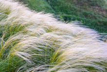 Field With Feather Grass Stipa...