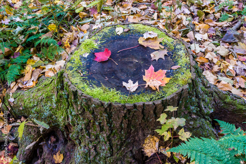 Moss Stump with fall leaves Wallpaper Mural