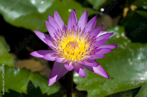 Foto op Canvas Lotusbloem 睡蓮の花